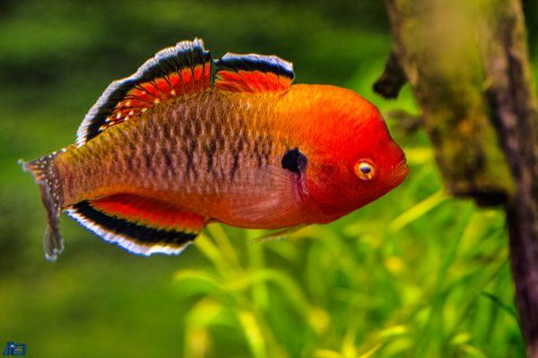 Zierfische fotos bilder auf fotocommunity for Zierfische aquarium