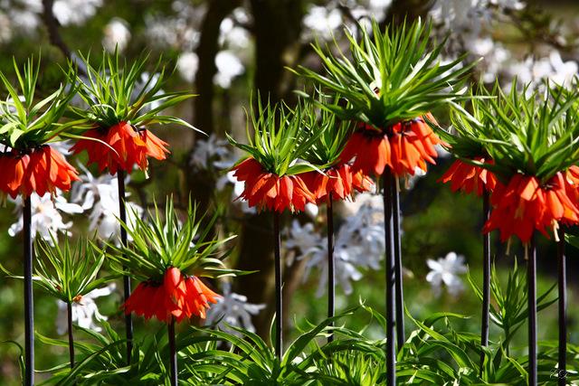 kaiserkrone foto bild pflanzen pilze flechten bl ten kleinpflanzen g rten und. Black Bedroom Furniture Sets. Home Design Ideas