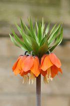 Kaiserkrone ( Fritillaria imperialis )