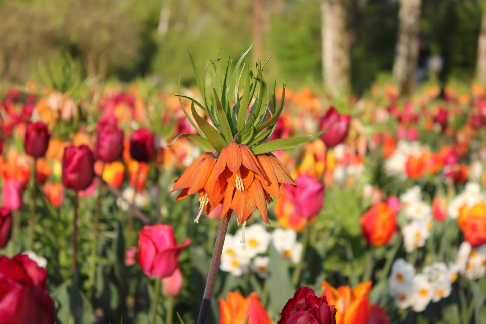 Kaiserkrone (Fritillaria imperialis)