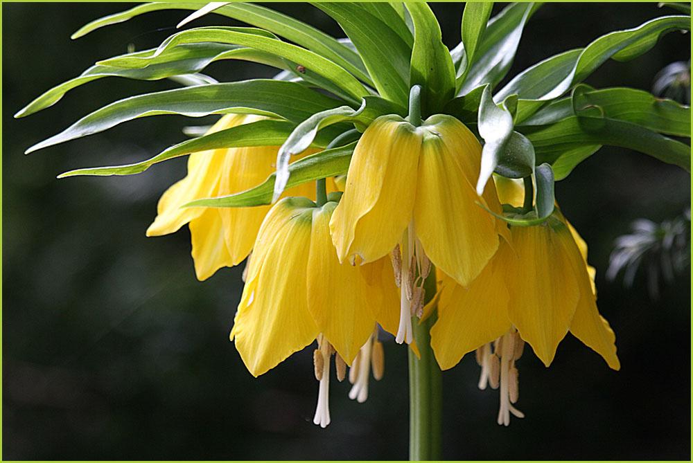 Kaiserkrone in gelb