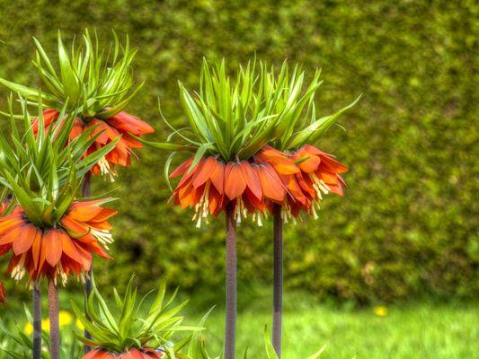 Kaiserkronen im Botanischen Garten München-Nymphenburg