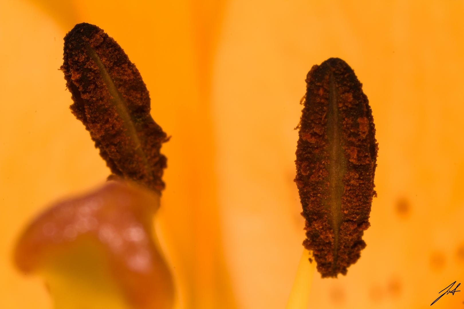 Kaiserlilie Staubgefäße