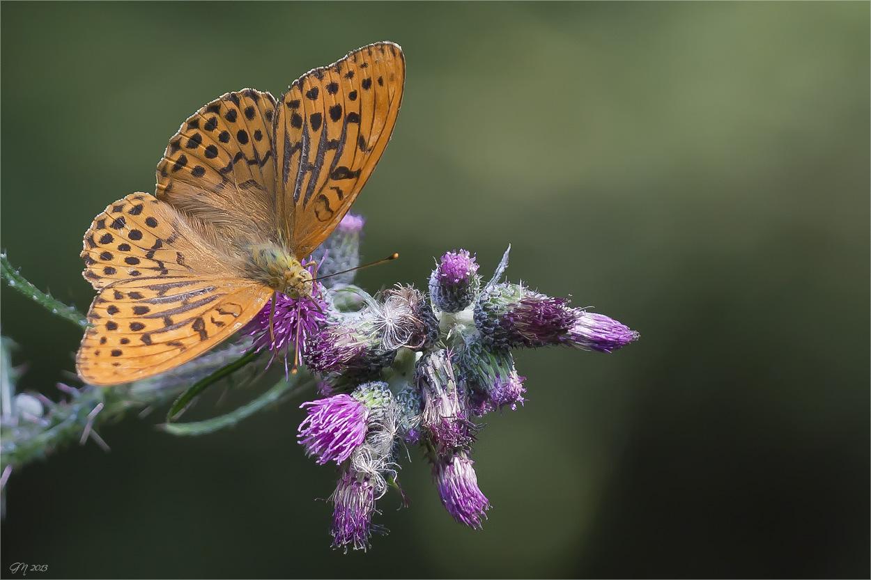 Kaisermantel ( Argynnis paphia )