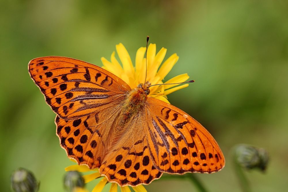 Kaisermantel (Argynnis paphia) (männl.)