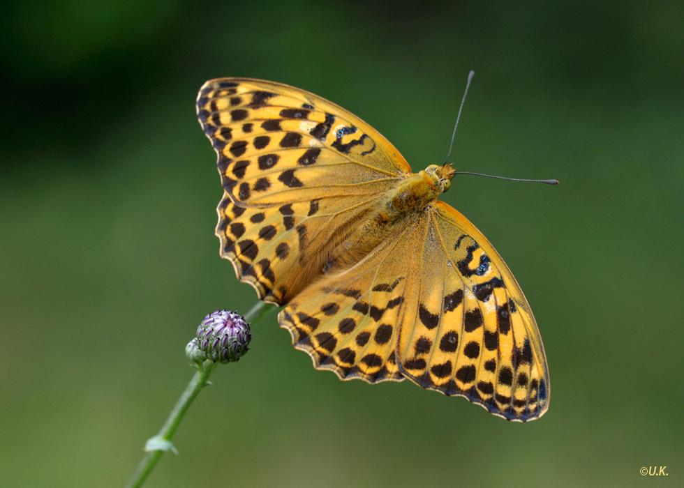 Kaisermantel (Argynnis paphia),Weibchen