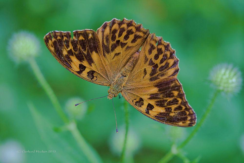 Kaisermantel (W) Argynnis paphia f. valesina (Esper) (Mutation ?)