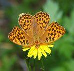 Kaisermantel (Weibchen)