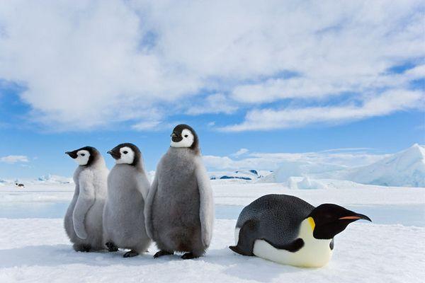 Kaiserpinguin mit Küken, Emperor penguin with chicks, Antarctic