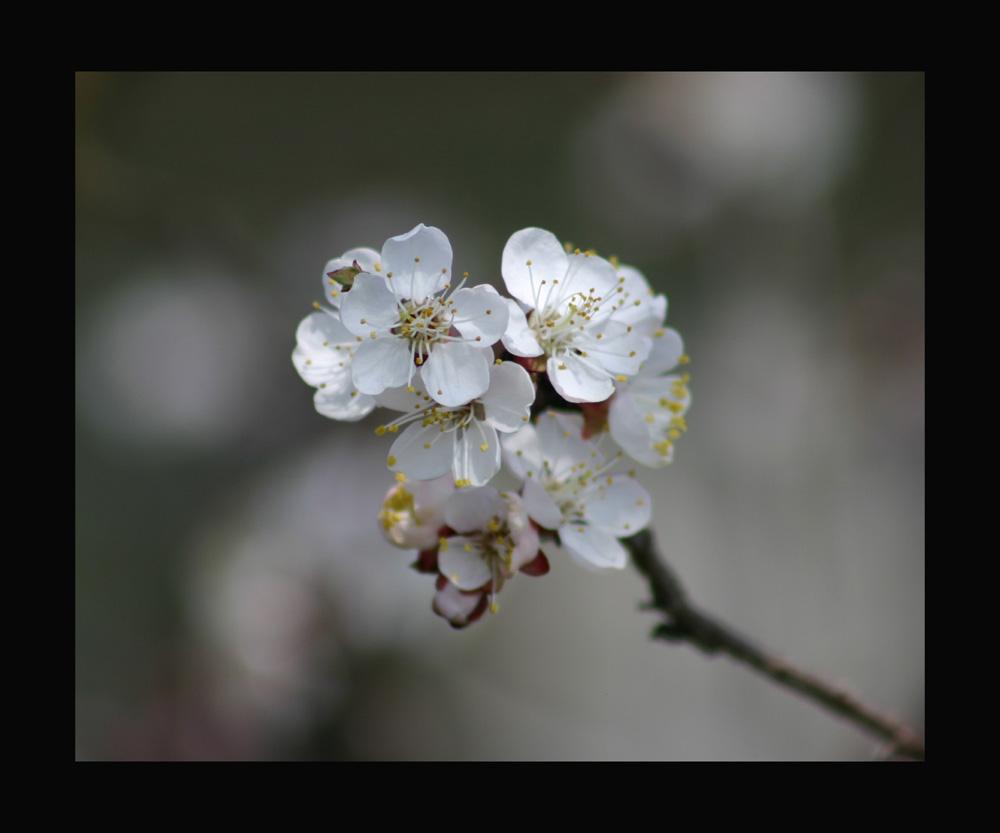 kajsijin cvijet