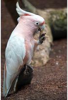 Kakadu mit seiner Lieblingsspeise
