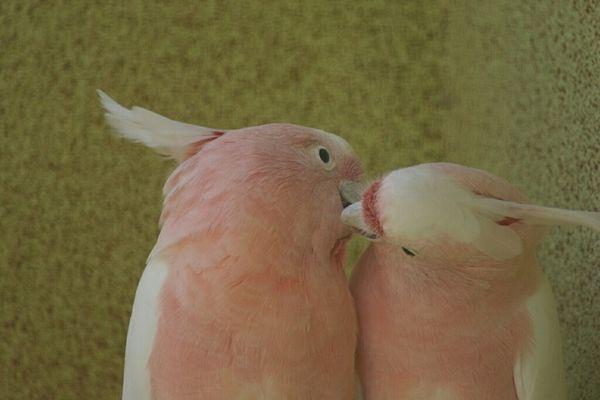 Kakadu Paar das sicht innig liebt