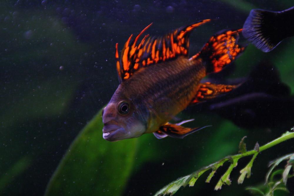 Kakadu-Zwergbuntbarsch