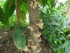 Kakao-Blüten am Stamm eines Kakao-Baumes