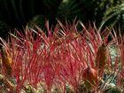 Kakatus mit roten Stacheln