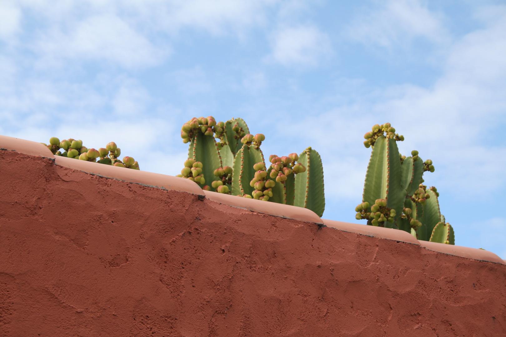 Kakteen als Zaungäste auf La Palma