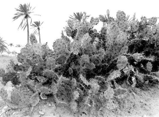 Kakteen auf Djerba