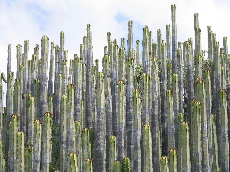 kakteen auf gran canaria foto bild pflanzen pilze flechten kakteen sukkulenten natur. Black Bedroom Furniture Sets. Home Design Ideas