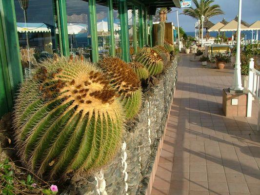 Kakteen in St. Augustin auf dem Balkon Gran Canaria