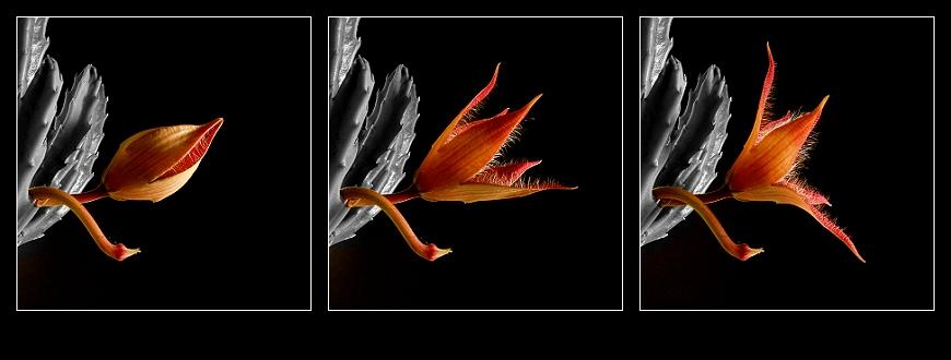Kakteenblüte - 3 Phasen