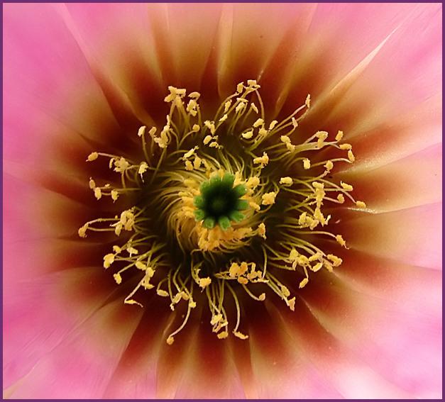 Kakteenblüte Echinocereus