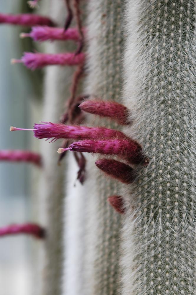 Kakteenblüten