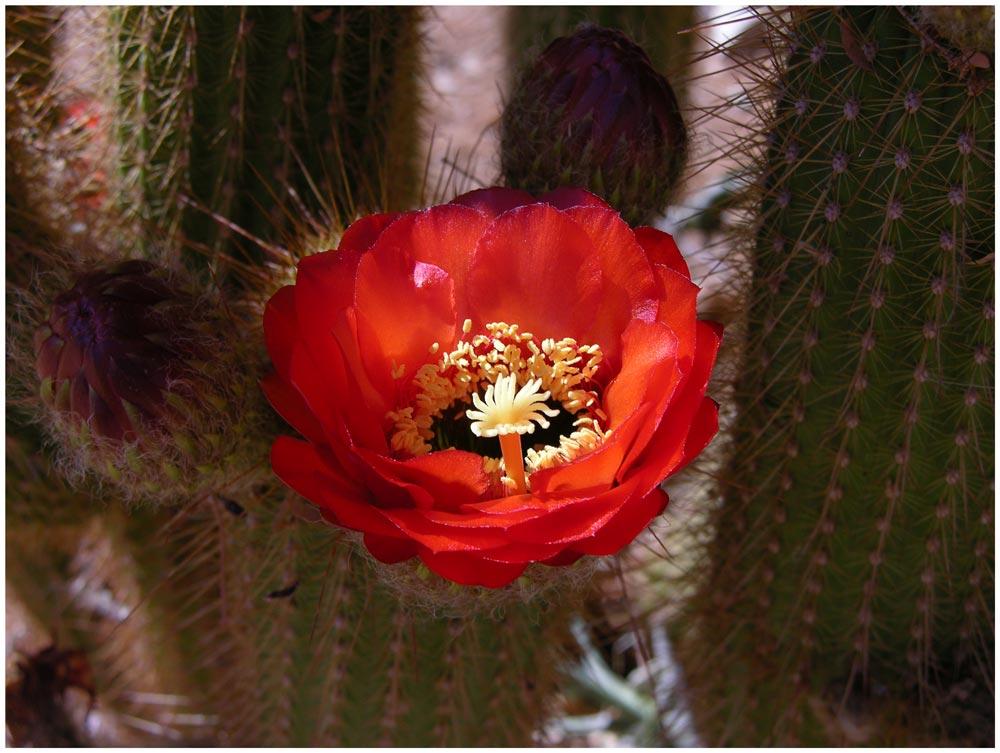 Kaktus bei Solitaire