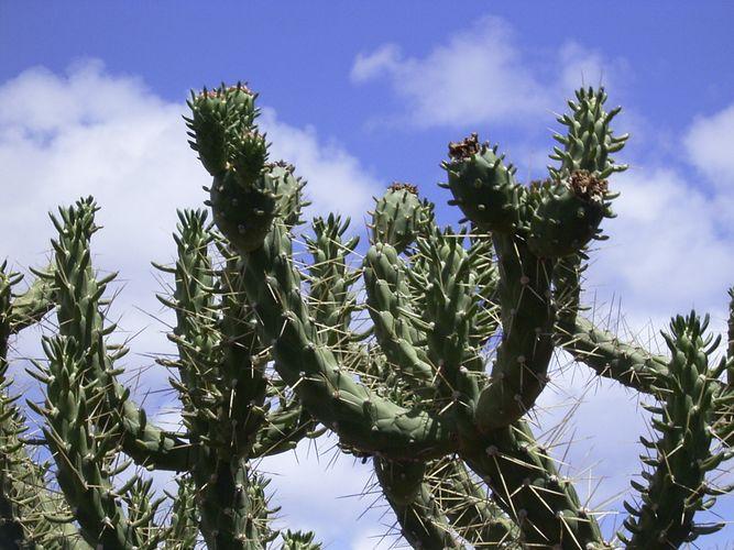 Kaktus gen Himmel