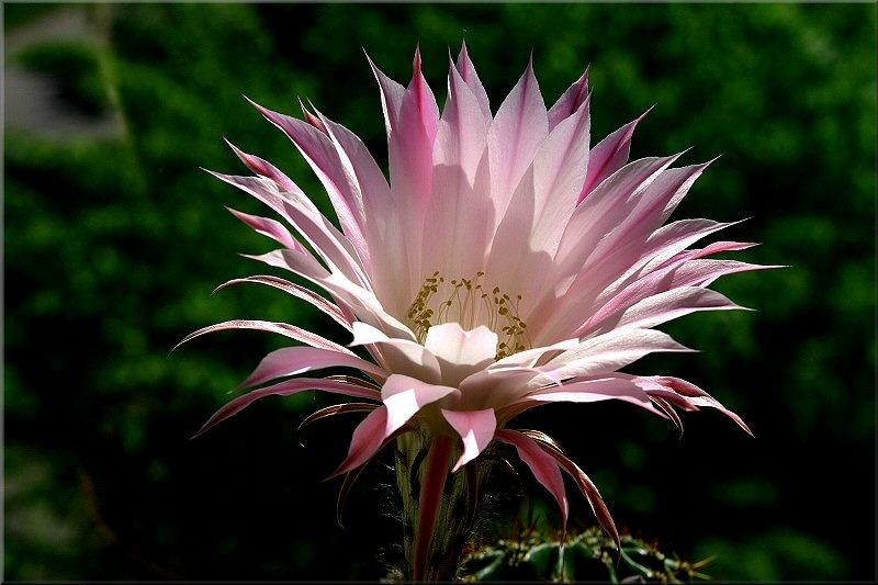 Kaktus in Blüte 2
