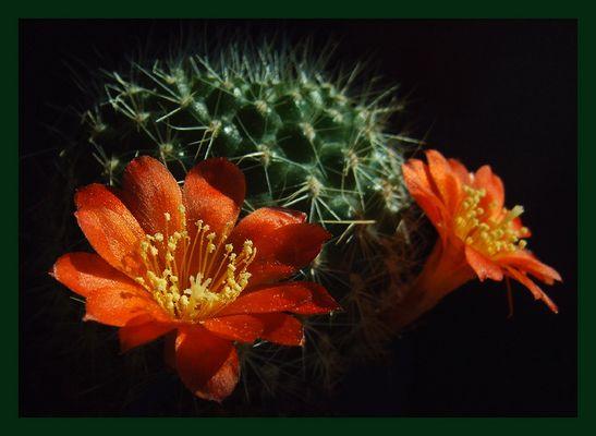 Kaktus mit Rebutiablüten