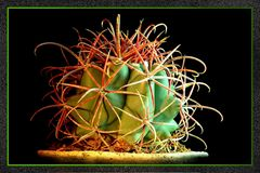 Kaktus No1