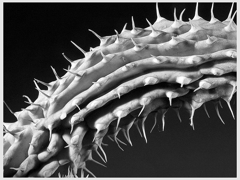 Kaktus - Struktur