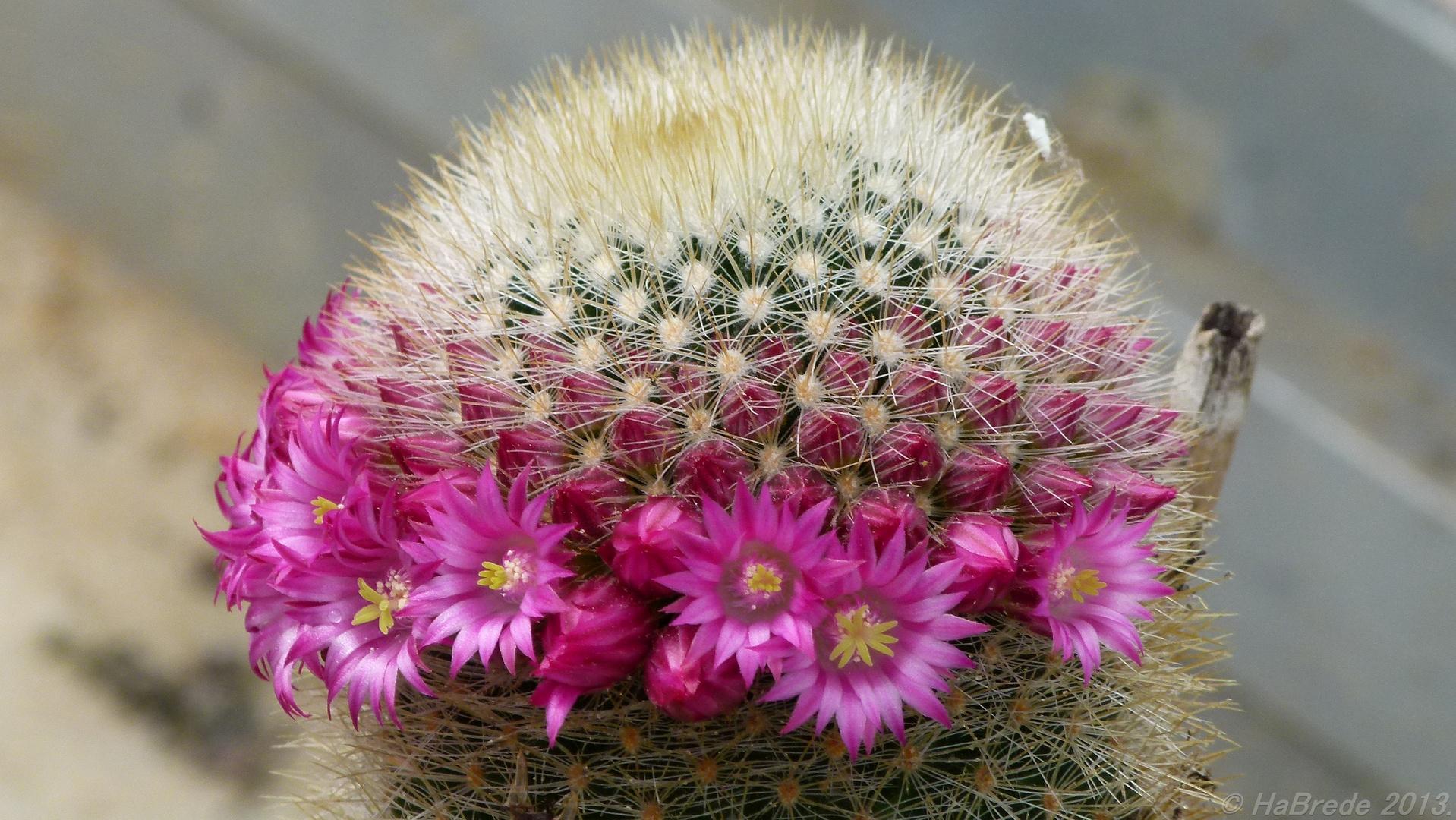 Kaktus002