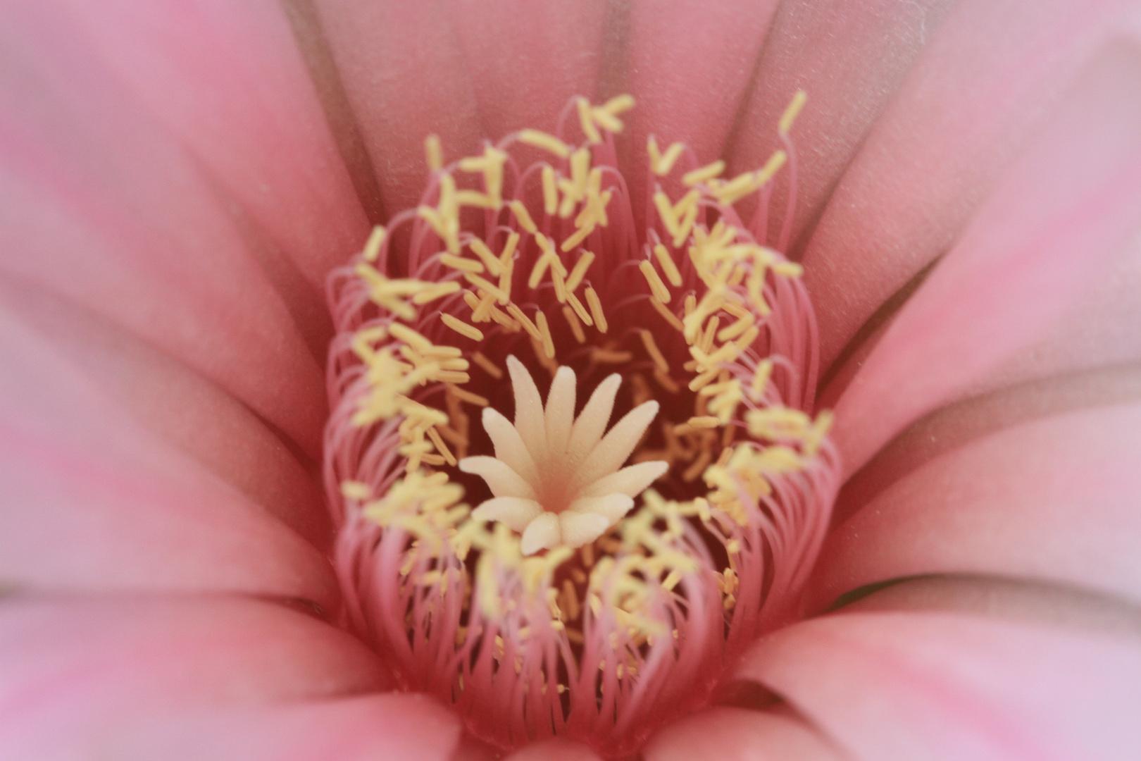 Kaktusblüte 1