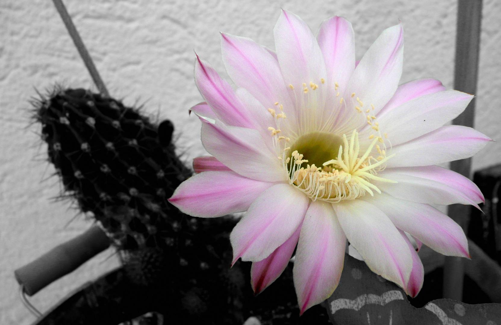 kaktusblüte.