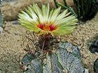 Kaktusblüte-16