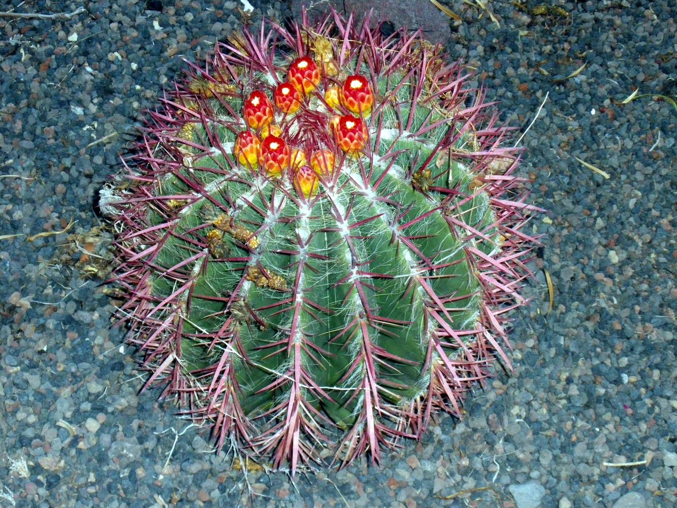 Kaktusblüte von so Feierabend