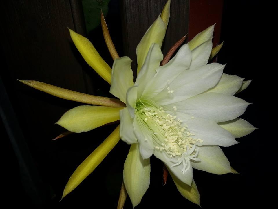 kaktusblüte 3