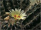Kaktusblüte ...