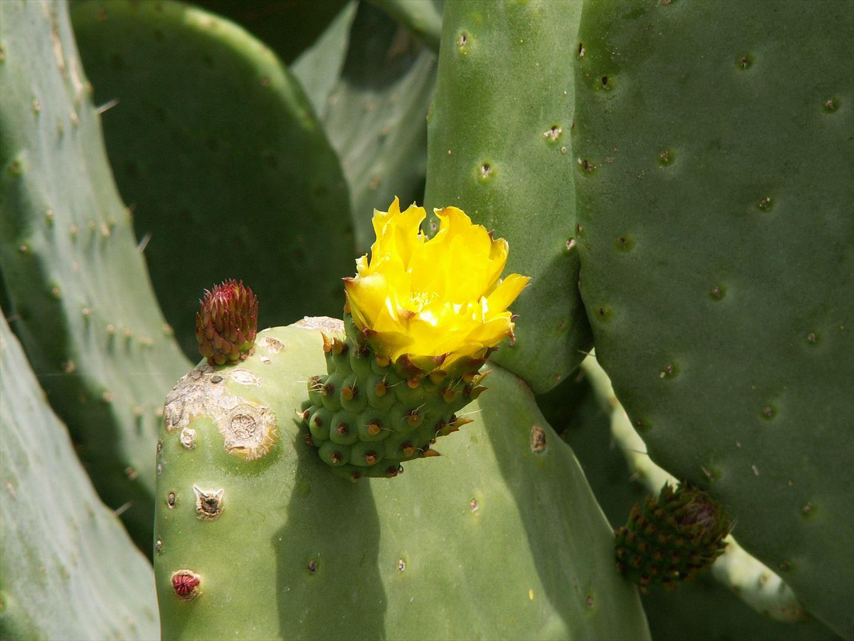 Kaktusblüte im Hotelgarten