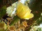 Kaktusblüte in der Morgensonne