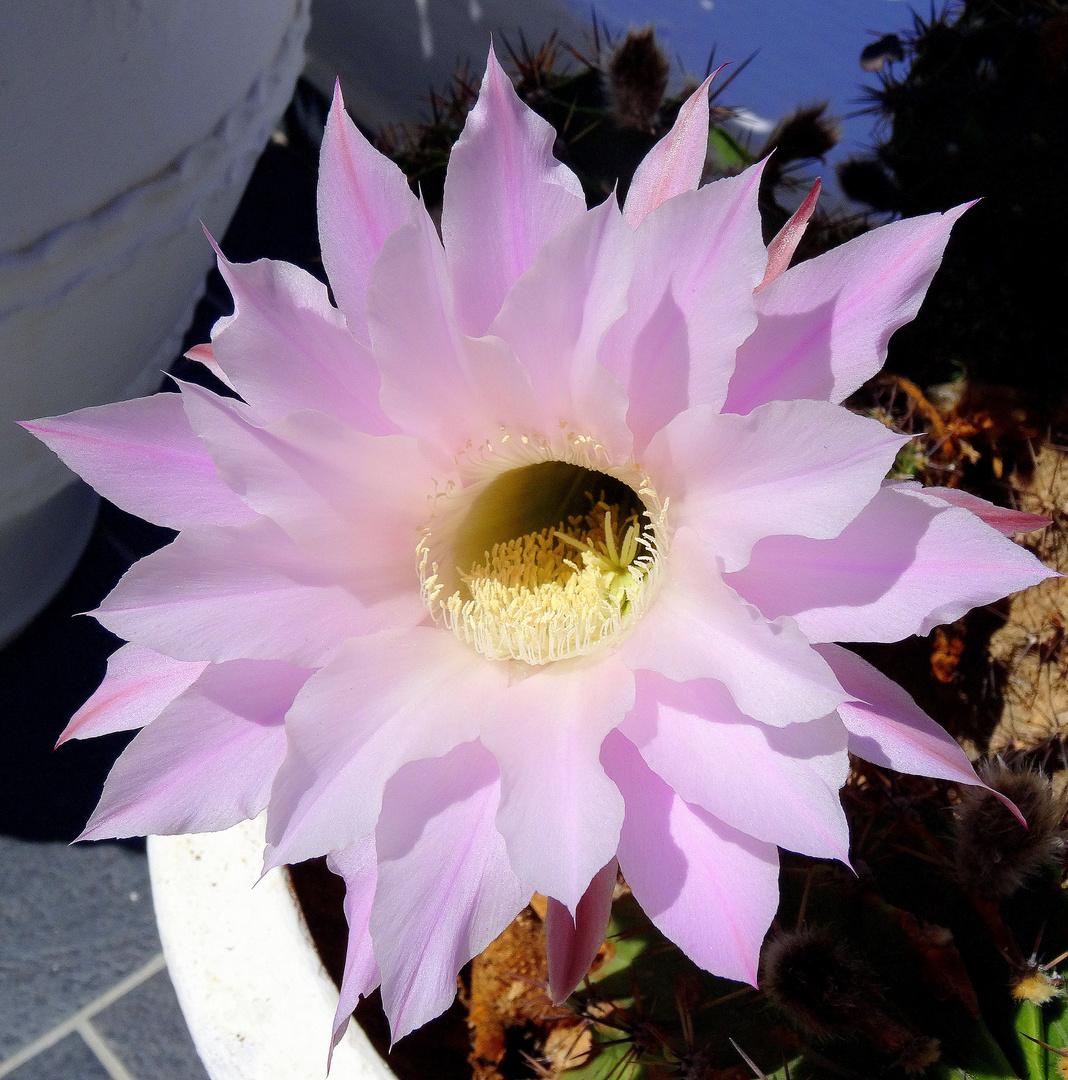 Kaktusblüte ...in Firostefani