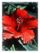 Kaktusblüte ? nein Hibiscus !