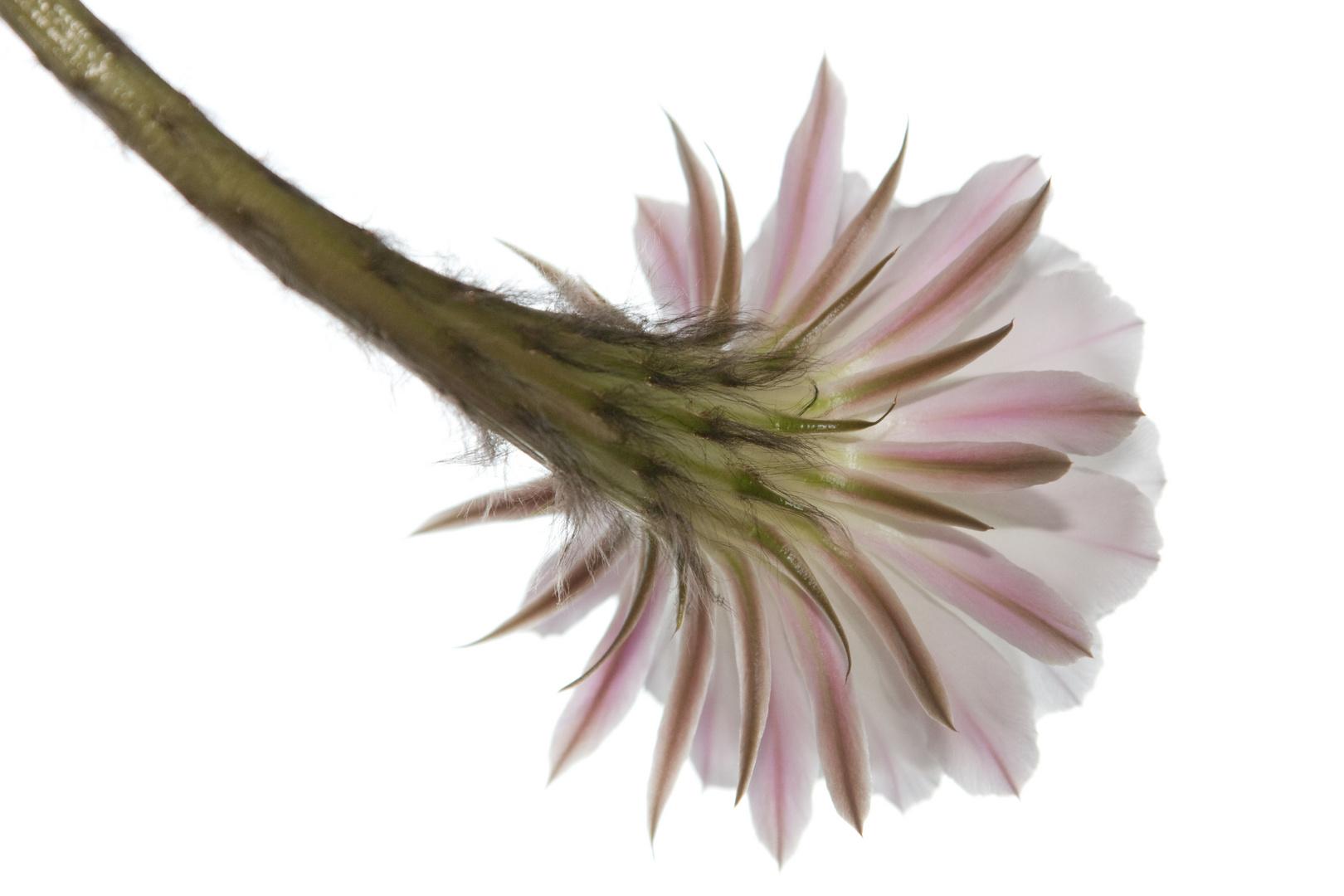 Kaktusblüte Teil 8