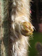 +++ Kaktusblüte - Teil I +++