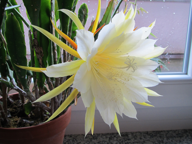 Kaktusblüte Weiß-Gelb
