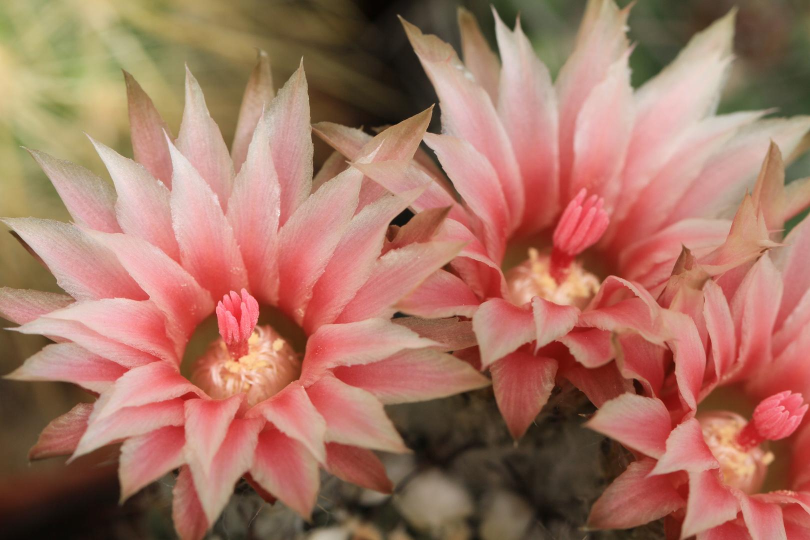 Kaktusblüten 1