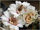 Kaktusblüten - immer wieder anders