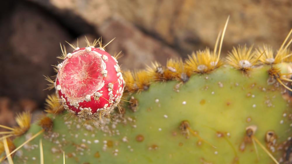 Kaktusfeige?