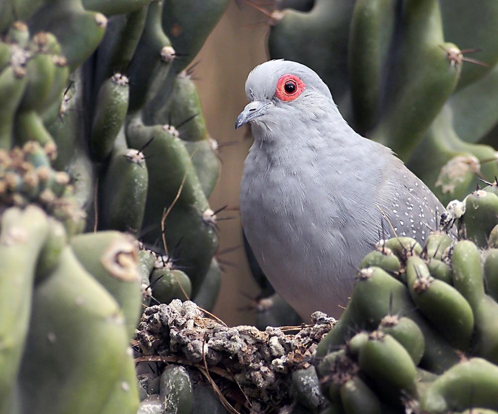 kaktustäubchen